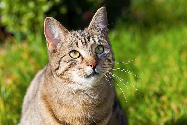 Young Tomcat stock photo
