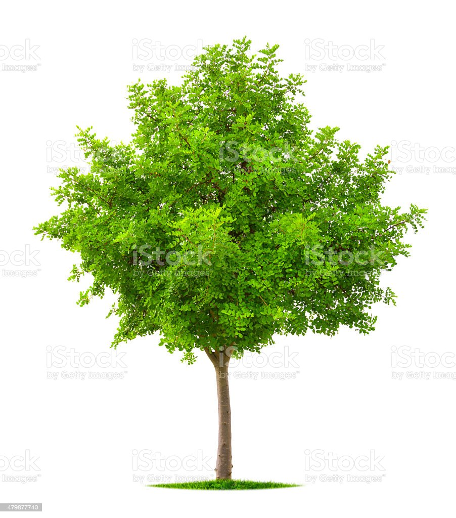 Young tree isolated on white stock photo