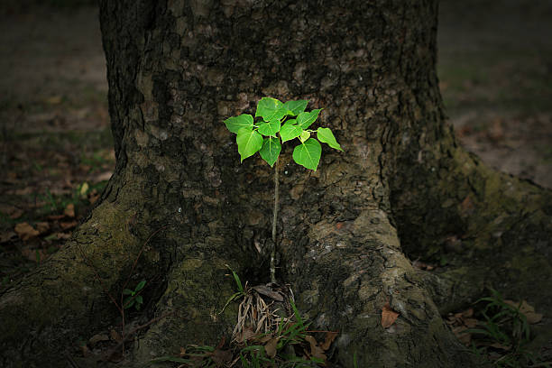 young tree of ficus rumphii - historycyzm zdjęcia i obrazy z banku zdjęć