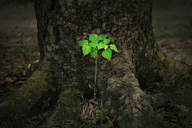 Young tree of Ficus rumphii - foto de stock