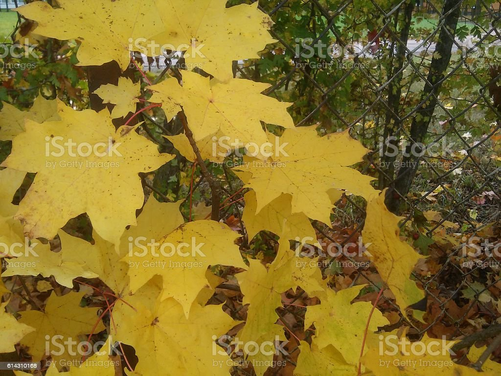 Young tree of maple on autumn stock photo