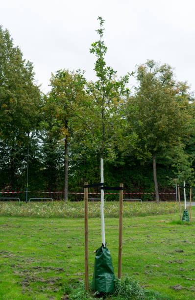 Junger Baum mit Bewässerungsbeutel zum Schutz vor Trockenheit. Ort: Deutschland, NRW – Foto