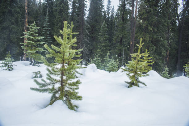 Young Trees in the Snow stock photo
