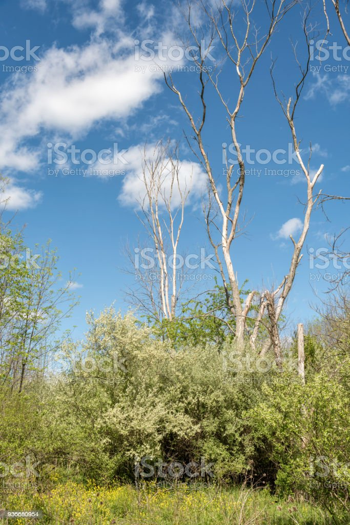 Young Trees Killed by Emerald Ash Borer, Dendrology Image stock photo