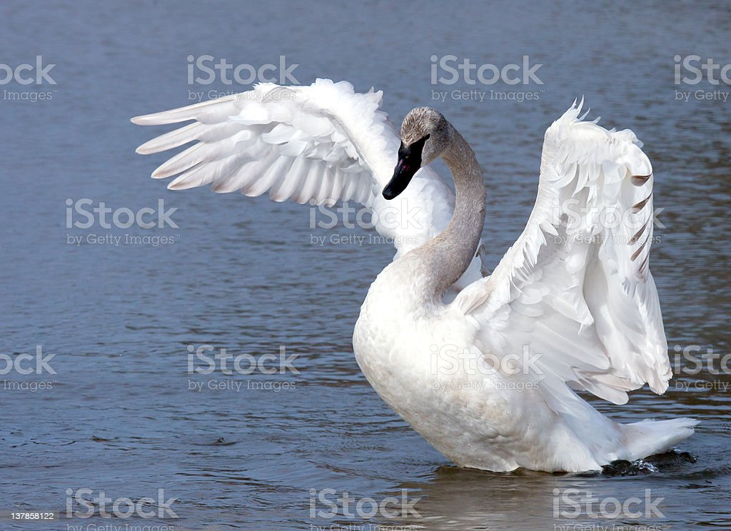 Young trumpeter swan stock photo