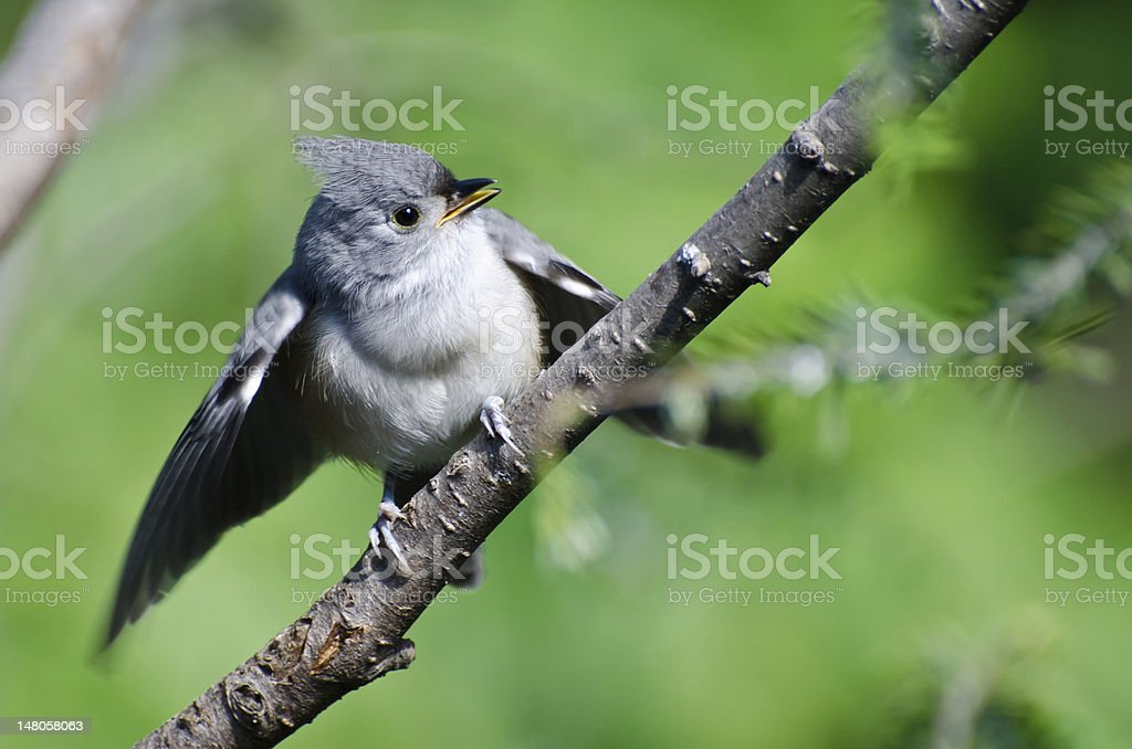 Young Tufted Titmouse Perched in a Tree stock photo