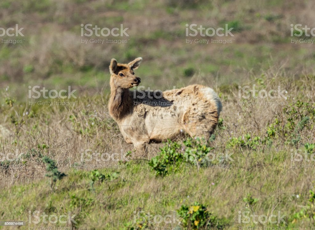 A Young Tule Elk stock photo