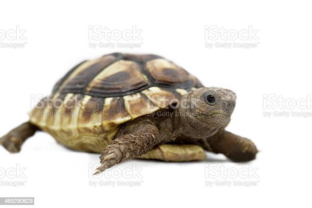 Young turtle on a white background picture id465290629?b=1&k=6&m=465290629&s=612x612&h=9ioatdujz6qa14b6sgqt dmgxfyncyyethd5ayq8jxq=