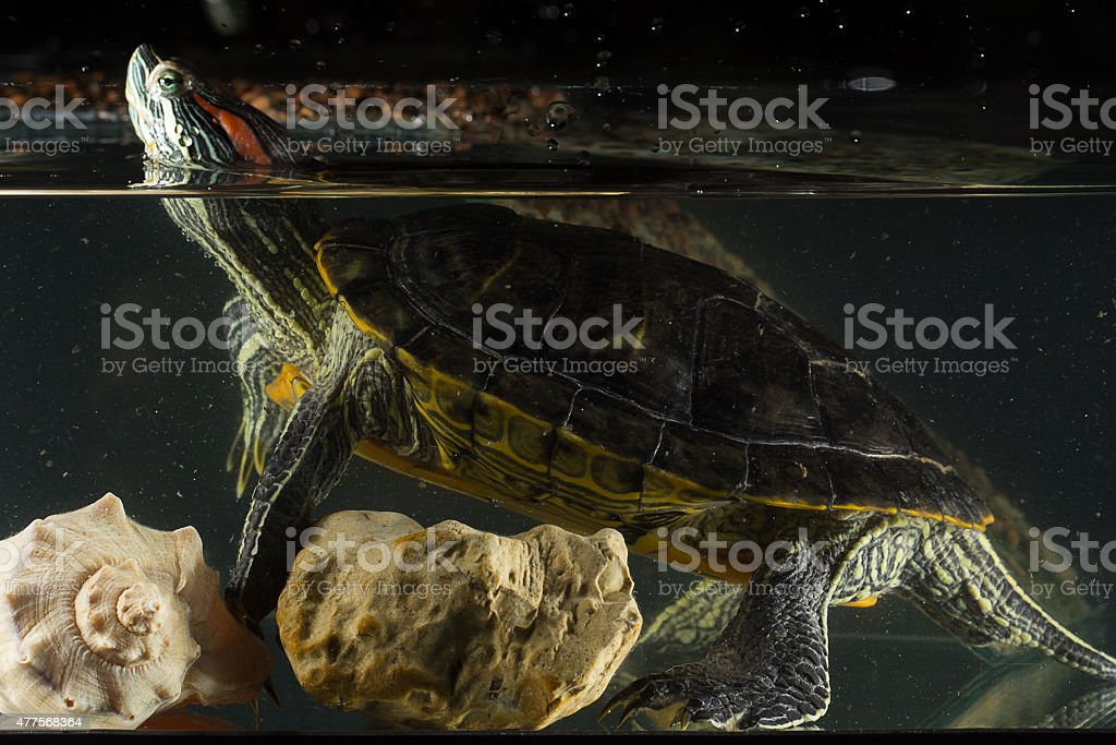 Young turtle sitting in aquarium Young turtle sitting in aquarium 2015 Stock Photo