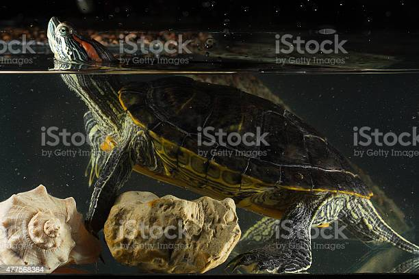Young Turtle Sitting In Aquarium Stock Photo - Download Image Now