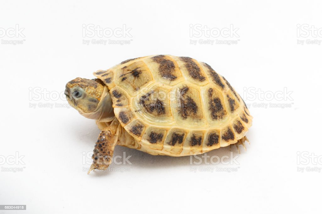 Young turtle Testudo horsfieldii on the white background foto de stock royalty-free