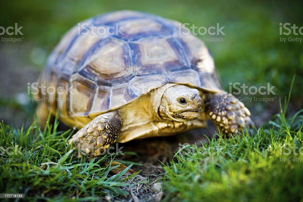 young turtle walking stock photo