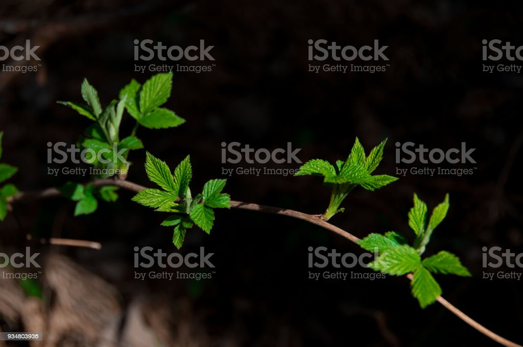 young twig with green leaves stock photo