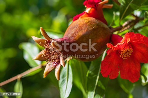 Young unripe fruit and pomegranate flower close up on a background of green foliage