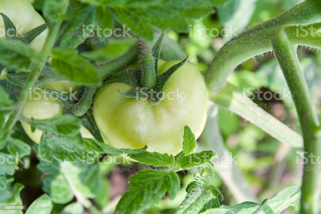 Young unripe fruit tomatoes on the bush royalty-free stock photo