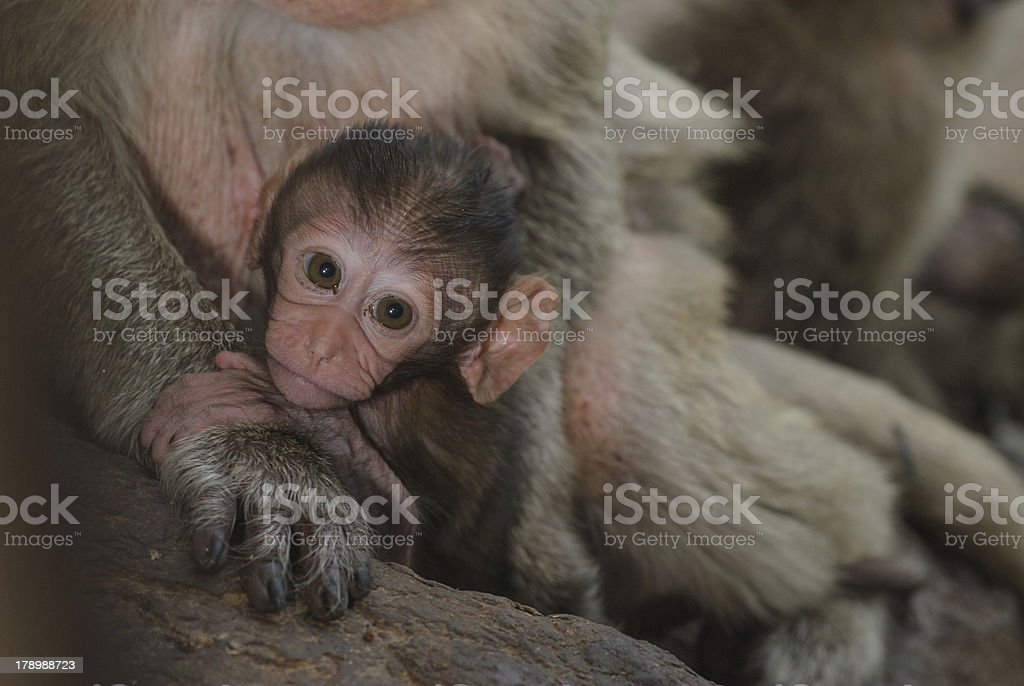 Young urban monkey royalty-free stock photo