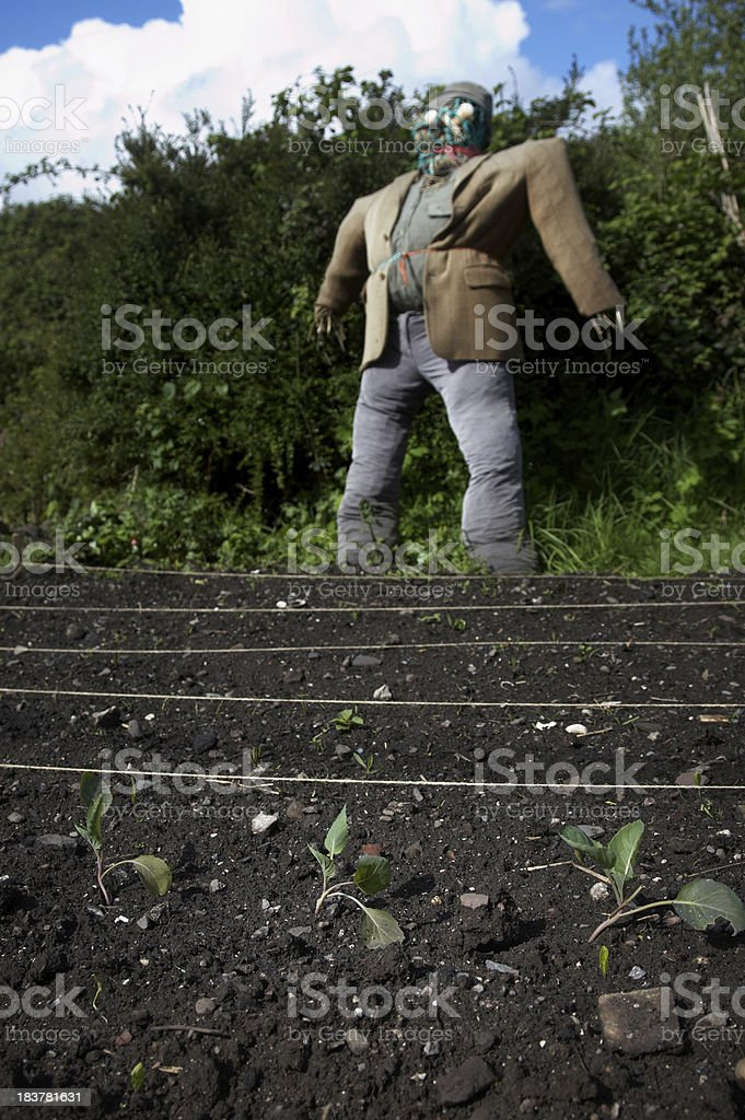 Young vegetable shoots in garden plot with Scarecrow background royalty-free stock photo
