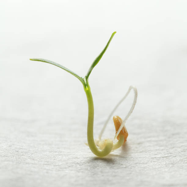 Young vegetable sprout stock photo