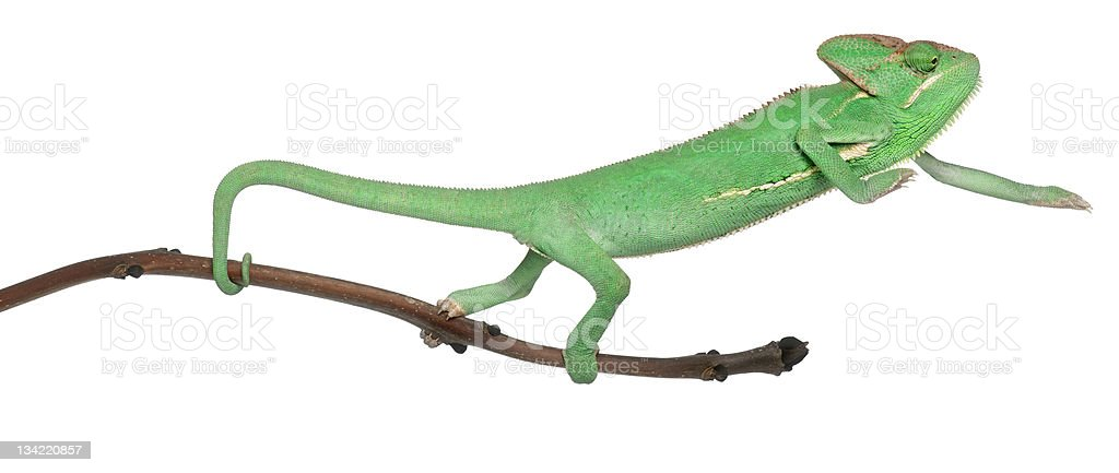 Young veiled chameleon, on branch, white background. royalty-free stock photo