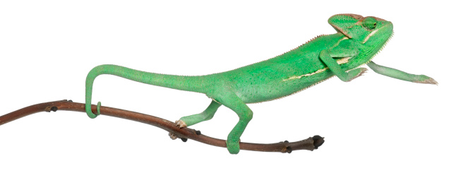 Young veiled chameleon, Chamaeleo calyptratus, on branch, in front of white background.