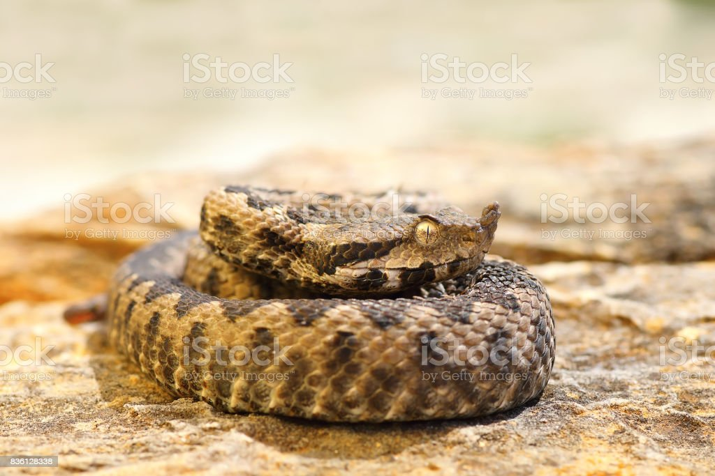 young venomous snake standing on stone stock photo
