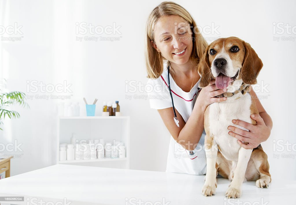 Young Veterinarian Embracing Beautiful Male Dog, Beagle stock photo
