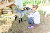 Young veterinarian woman with stethoscope holding and examining goat on ranch background. Young goat with vet hands for check up in natural eco farm. Animal care and ecological farming concept