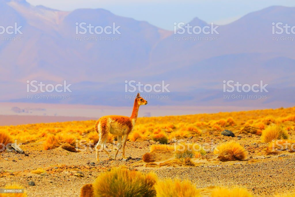 Young Vicuna Guanaco loneliness freedom, animal wildlife in Bolivian Andes altiplano and Idyllic Atacama Desert, Volcanic landscape panorama – Potosi region, Bolivian Andes, Chile, Bolívia and Argentina border stock photo