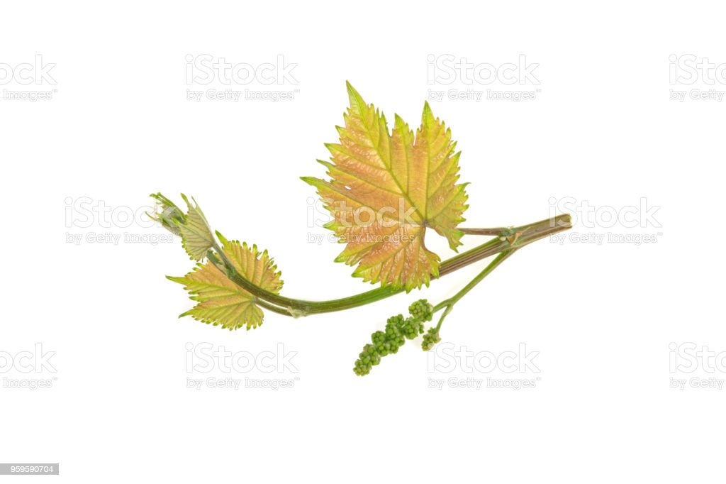 young vine branch isolated on white background stock photo