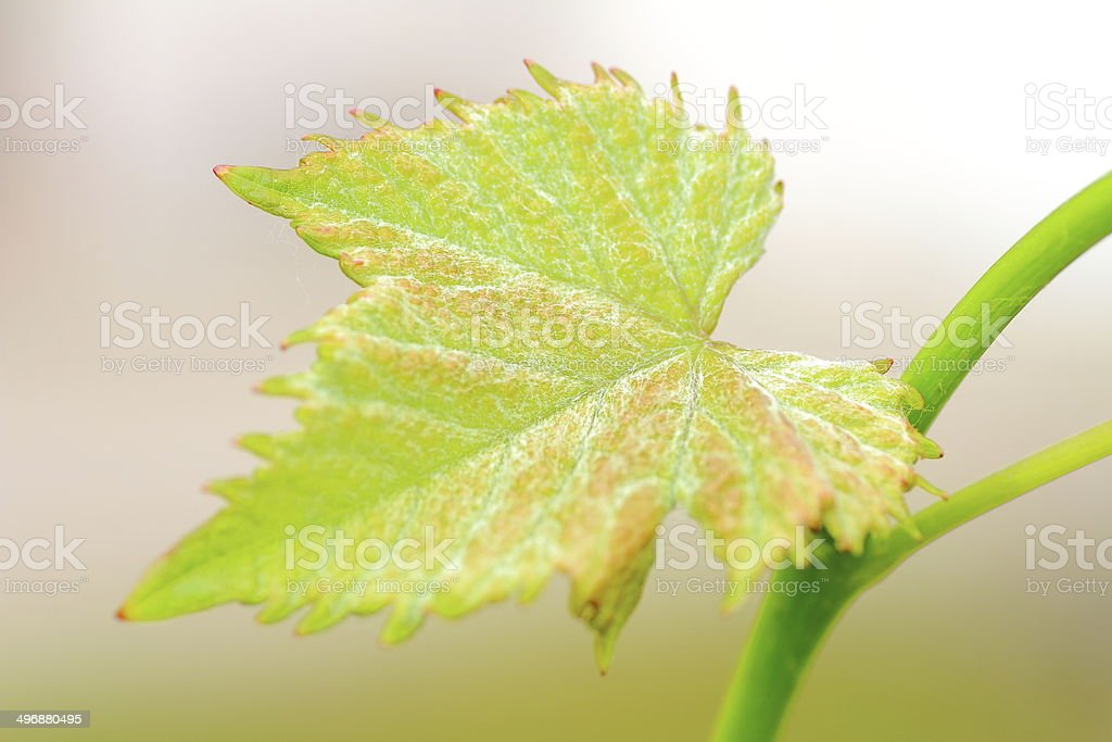 Young vine leaf royalty-free stock photo