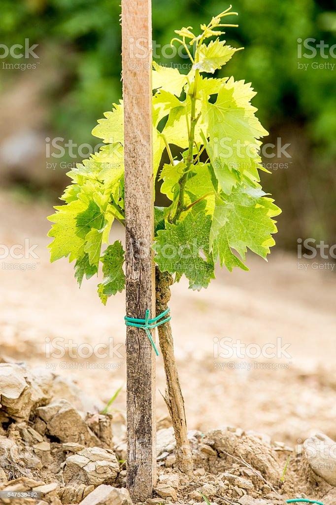 Young vine plant stock photo