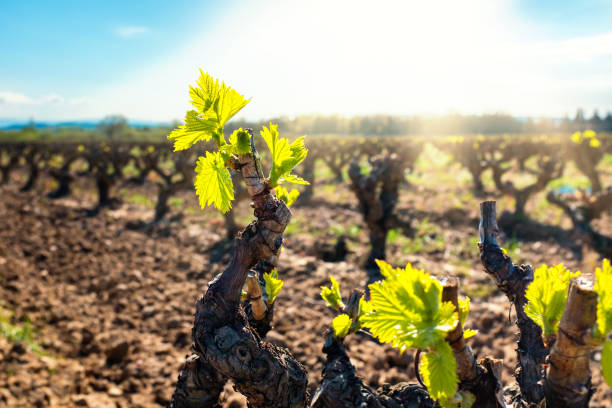 Young vineyard buds blooming. stock photo