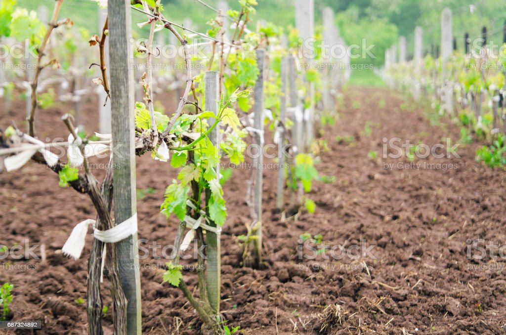 Young vineyard field in spring stock photo