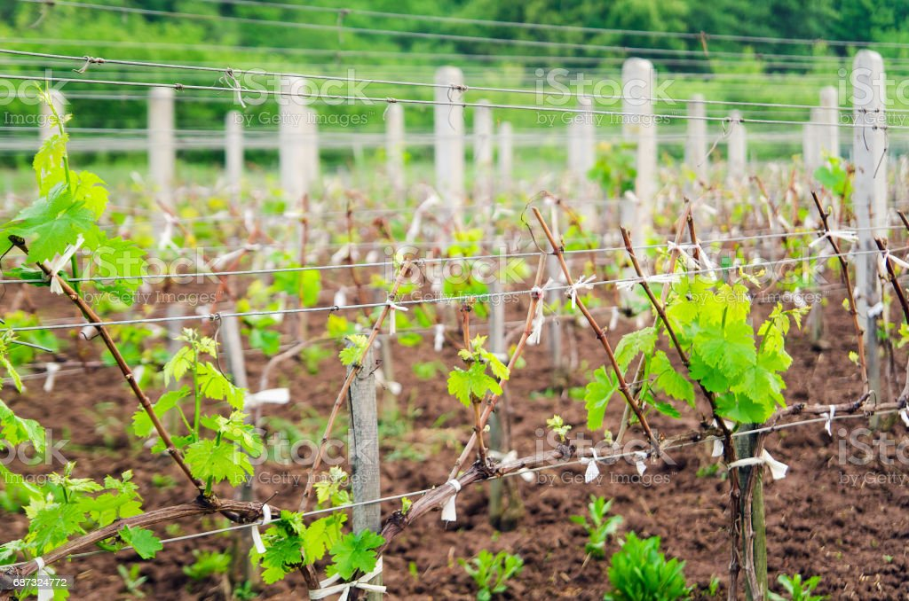 Young vineyard field with posts stock photo
