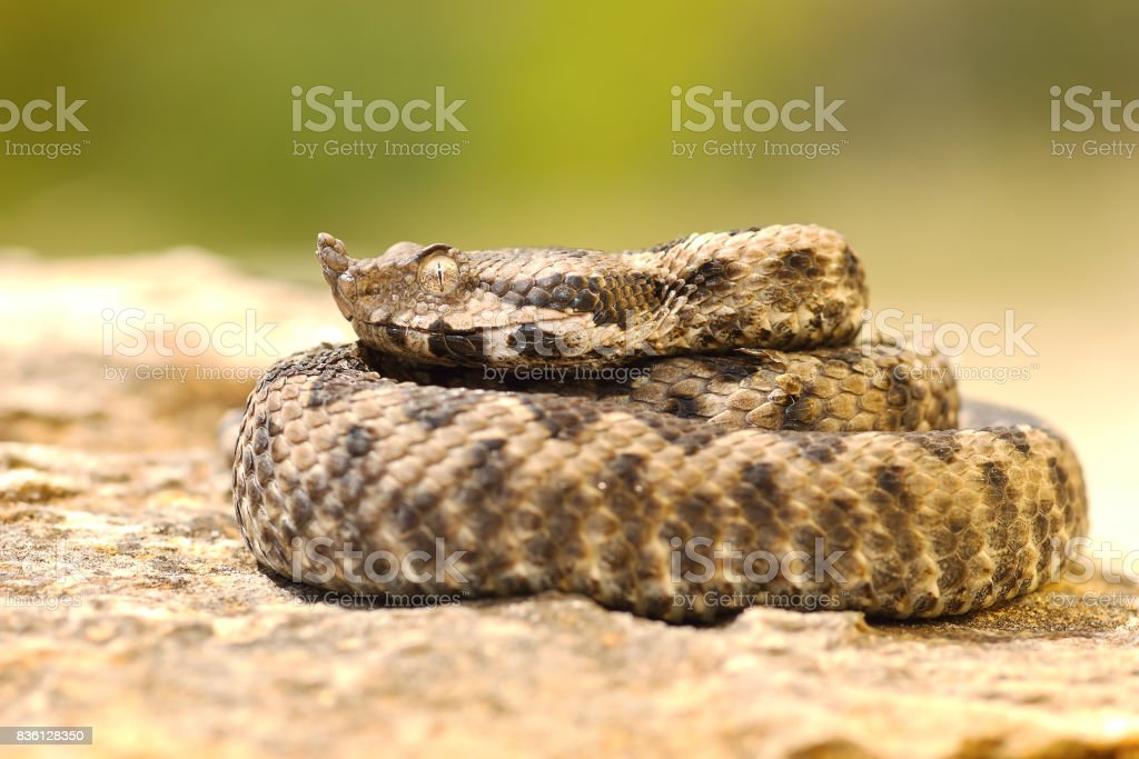 young viper basking on stone stock photo