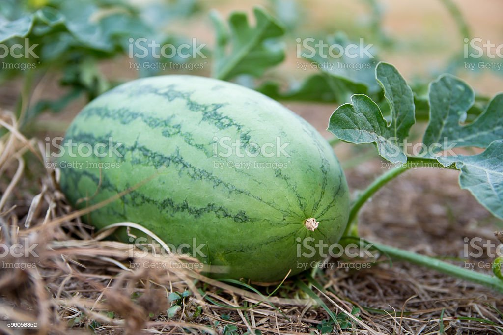 Young watermelon with the watermelon plant on the dry grass royalty-free stock photo