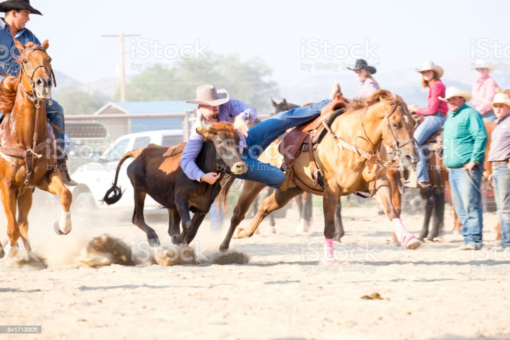 Young Western adult male doing steer wrestling rodeo event in a horse arena. The cowboy has the steer by the horns and is sideways off his horse. stock photo