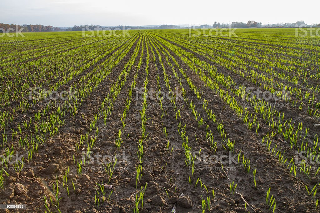 Young Wheat Field on Countryside stock photo