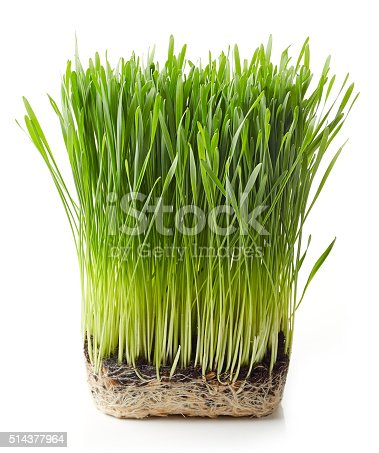 Young wheat grass isolated on white background