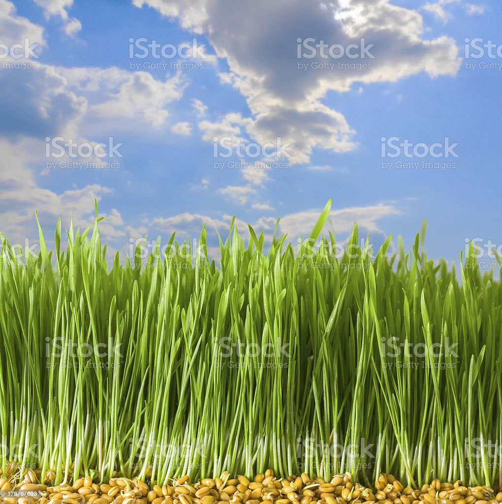 Young Wheat in Herb royalty-free stock photo