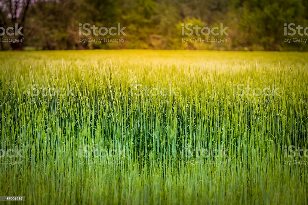 Young wheat landscape royalty-free stock photo
