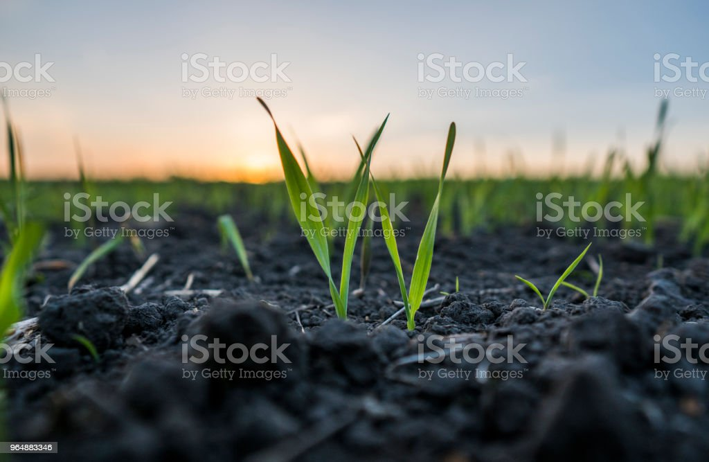 Young wheat seedlings growing in a field. Green wheat growing in soil. Close up on sprouting rye agricultural on a field in sunset. Sprouts of rye. royalty-free stock photo