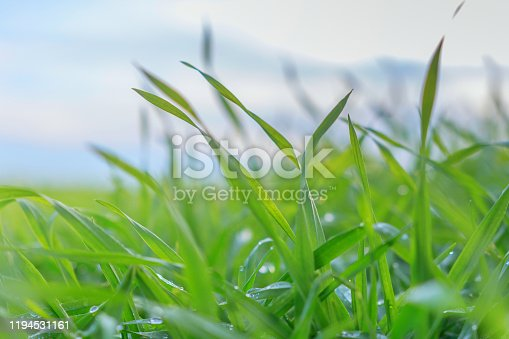 Young Wheat Seedlings Growing in a Field. Green Wheat Seedlings Growing in Soil.