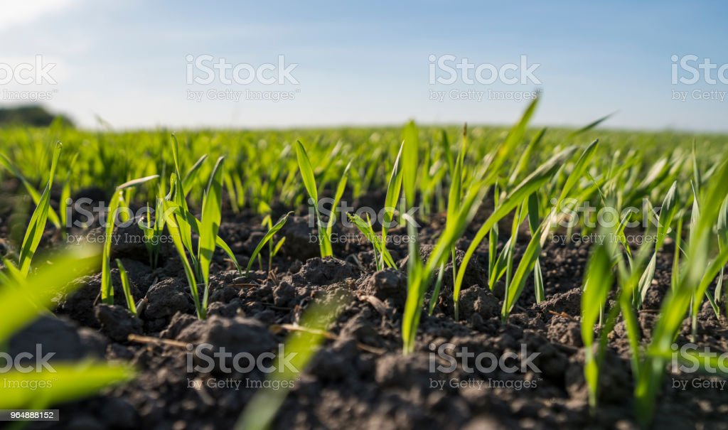 Young wheat seedlings growing in a field. Young green wheat growing in soil. Close up on sprouting rye agricultural on a field sunny day with blue sky. Sprouts of rye. royalty-free stock photo