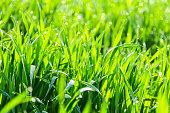 Young wheat seedlings