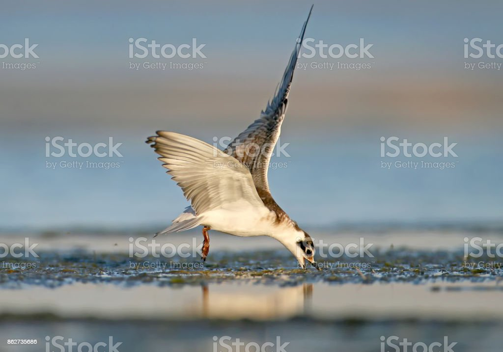 Young  whiskered tern (Chlidonias hybrida) feeding in flight stock photo