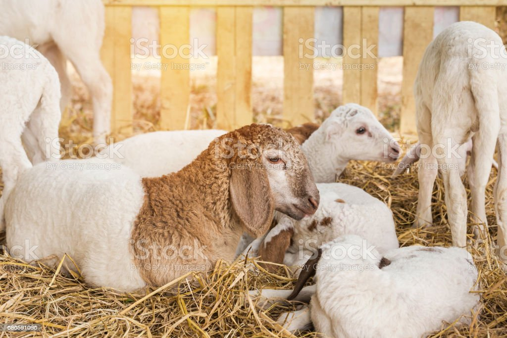 young white and brown sheeps resting in the barn photo libre de droits