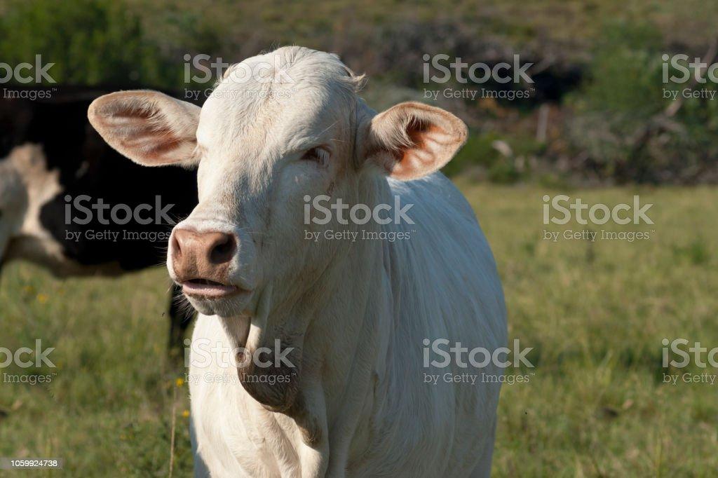 Young white Brahman cow stock photo