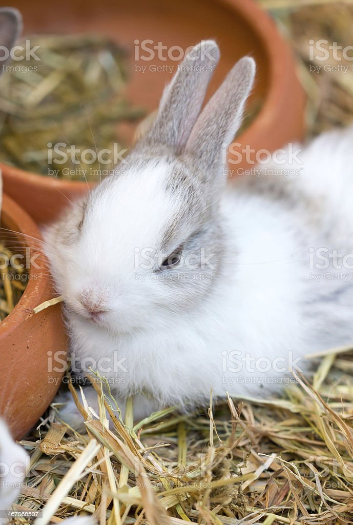 Young white bunny sitting on straw. royalty-free stock photo
