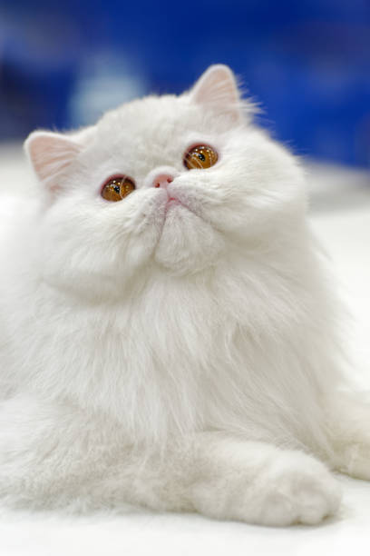 Young white cat - Photo